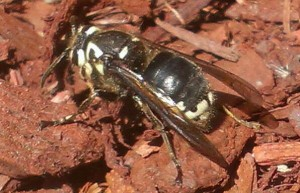 Queen Baldfaced Hornet