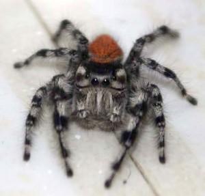 Jumping Spider mimics Mating Blues
