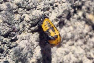 Lady Beetle Pupa