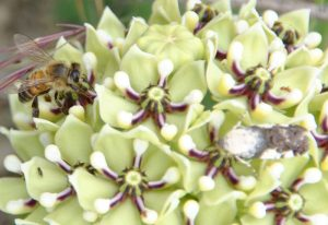 Honey Bee and Moth on Milkweed