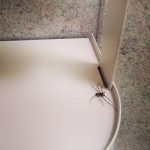 Deadly Bathroom Spider