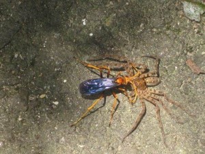Spider Wasp attacks Huntsman Spider