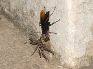 Spider Wasp with Rain Spider