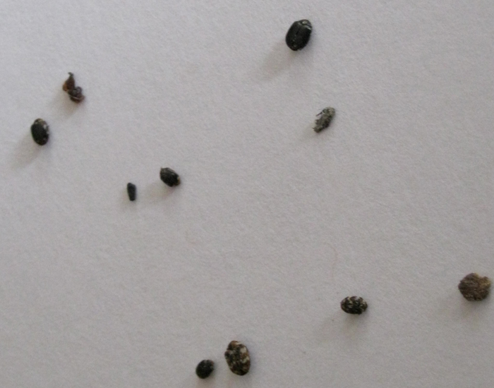 Varied Carpet Beetles What S That Bug