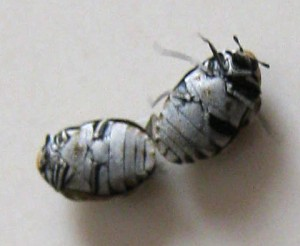 Varied Carpet Beetles
