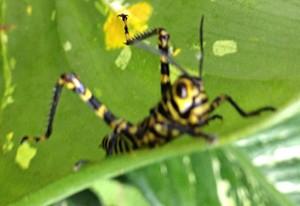 Grasshopper Nymph:  Tropidacris cristata