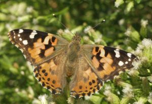 Painted Lady on Baccharis