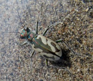 St Anthony Dune Tiger Beetle