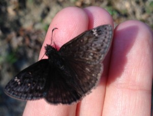 Duskywing, we believe