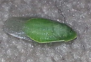 Green Banana Cockroach