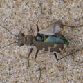 Unidentified Tiger Beetle
