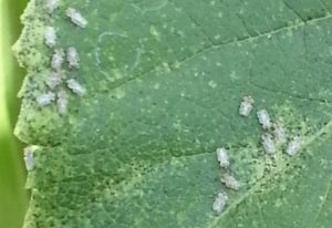 Chrysanthemum Lace Bugs