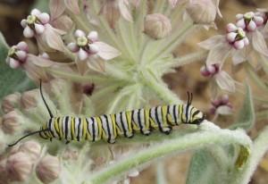 Monarch Caterpillar on Indian Milkweed