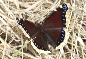 Mourning Cloak in Elyria Canyon Park
