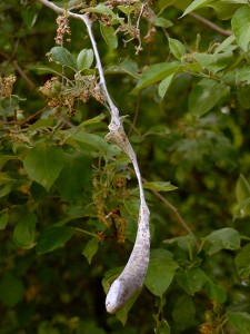 Possibly Tent Caterpillar Nest
