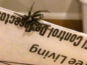 Western Parson Spider