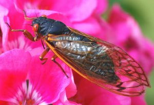 Periodical Cicada: Brood XIII from 2007