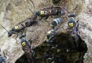 Paper Wasps:  genus Polistes