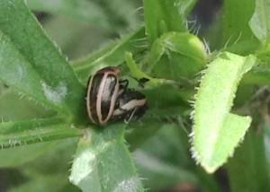 Ragweed Leaf Beetles