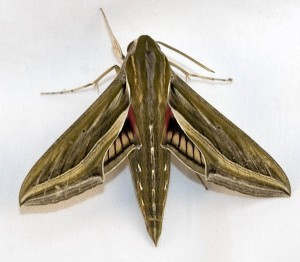 Silver Striped Hawkmoth