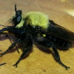 Virginia Bee Killer