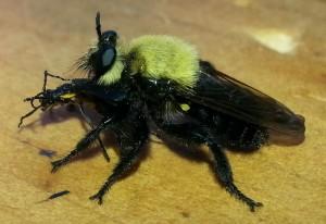 Virginia Bee Killer