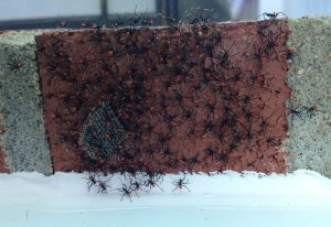 Wheel Bug Hatchlings
