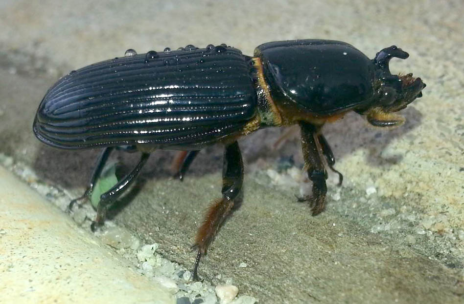 Bess Beetles Archives - What's That Bug?