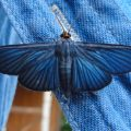 Unknown Blue Moth