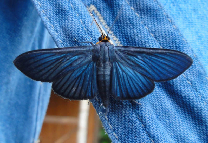 Blue Moth from Ecuador is Pyralid Moth - What's That Bug?
