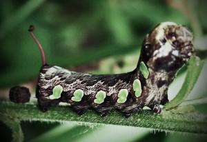 Gaudy Sphinx Caterpillar, we believe