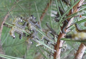 European Sawfly Larvae