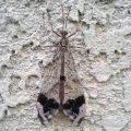 Antlion:  Glenurus gratus