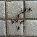 Heteropteran Nymphs