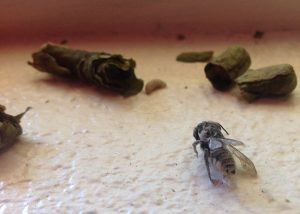 Leaf-Cutter Bee and Nest