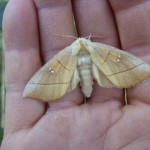 Prominent Moth:  Nadata oregonensis