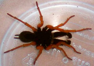 Red Legged Purseweb Spider from the archives