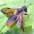 Sawfly