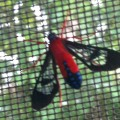 Scarlet Bodied Wasp Moth