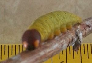 Skipper Caterpillar