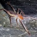 Solifugid from Nicaragua