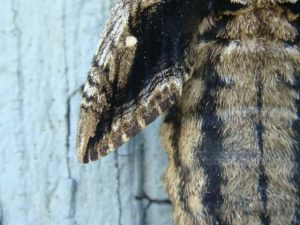 Detail of Sphinx Moth