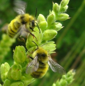 Yellow Fronted Bumble Bees