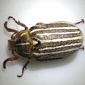 Ten LIned June Beetle