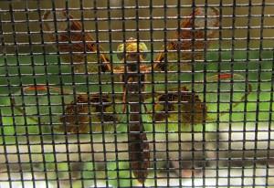 Female Eastern Amberwing