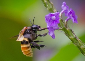 Orchid Bee with Pollinarium