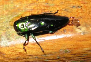 Phoresy:  Jewel Beetle transports Pseudoscorpion