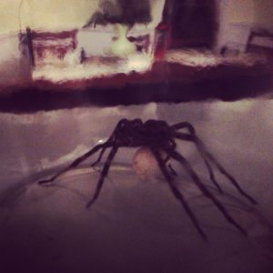 Instagram of Fishing Spider