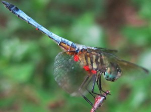 Water Mite Larvae on Dragonfly