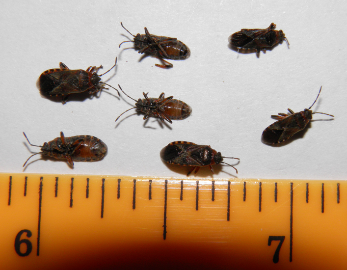 Elm Seed Bug Infestation in Idaho